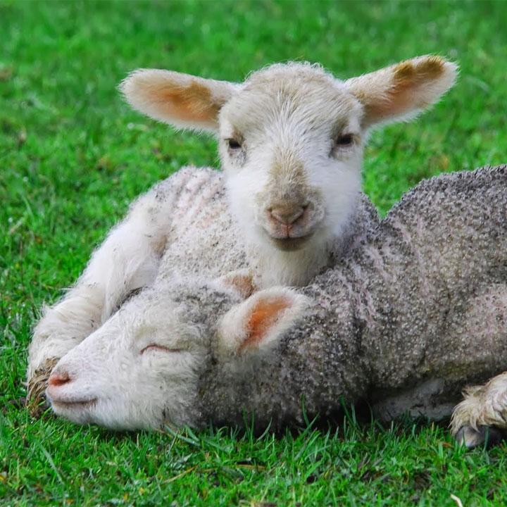 Frasi sugli agnelli