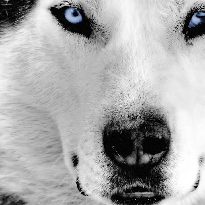 Frasi sui lupi