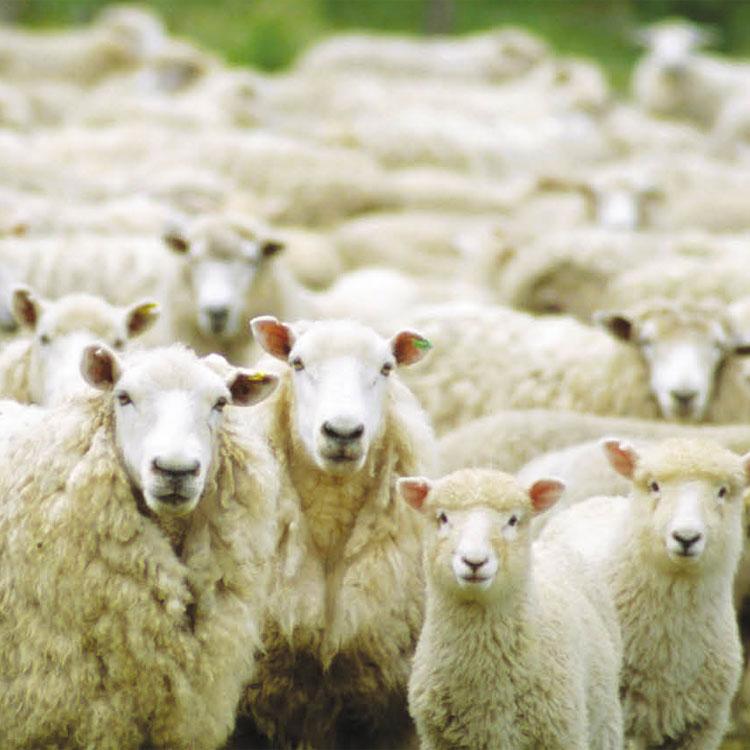 Contare tecnologicamente le pecore