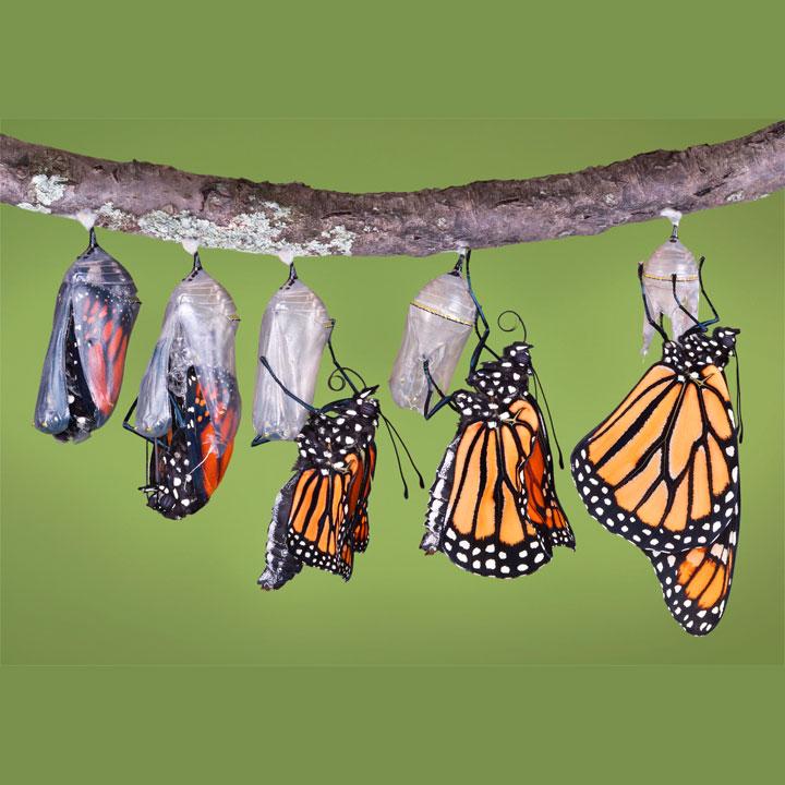 bruco che diventa farfalla