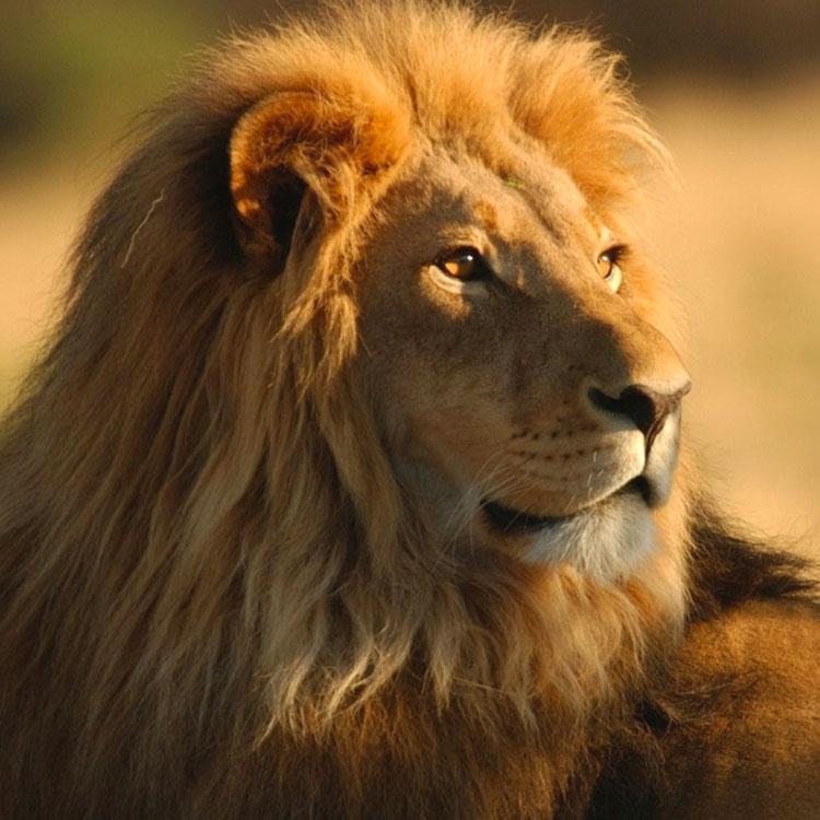 Frasi sui leoni - Foto di animali dell oceano ...
