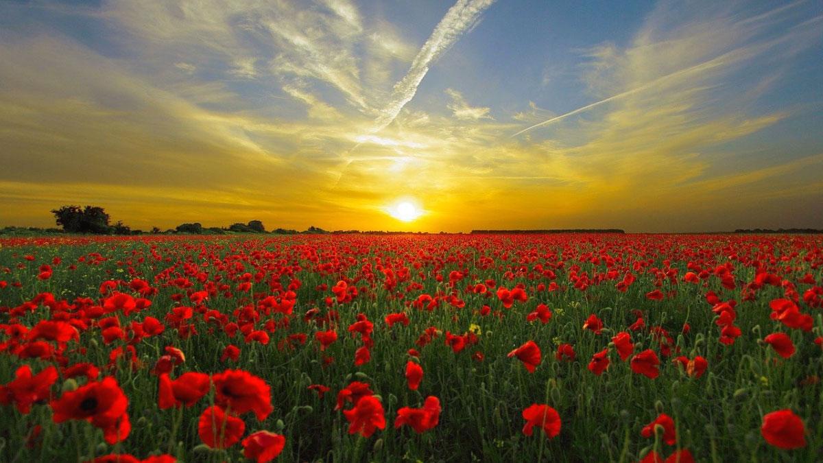 paesaggio tramonto con fiori rossi