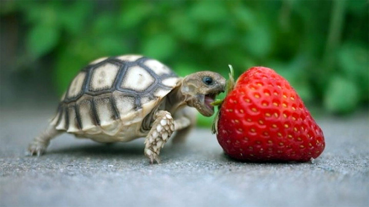 una tarturuga piccola morde una fragola