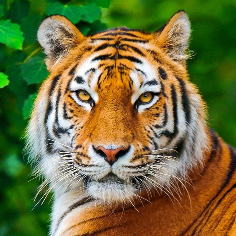 Frasi sulla tigre - Images tigres gratuites ...